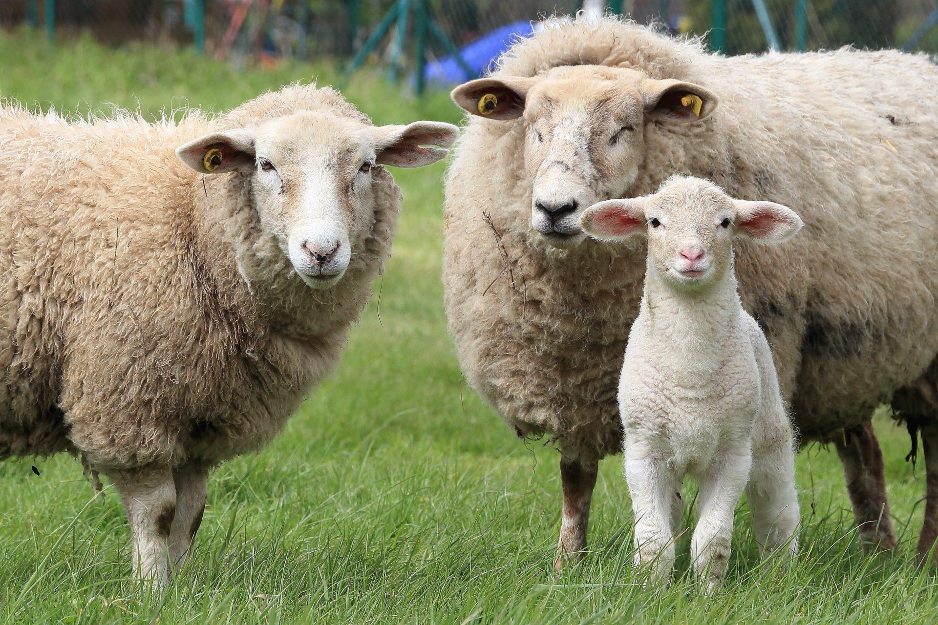 Sheep 1547720 1